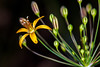 """Golden Star Lily"""