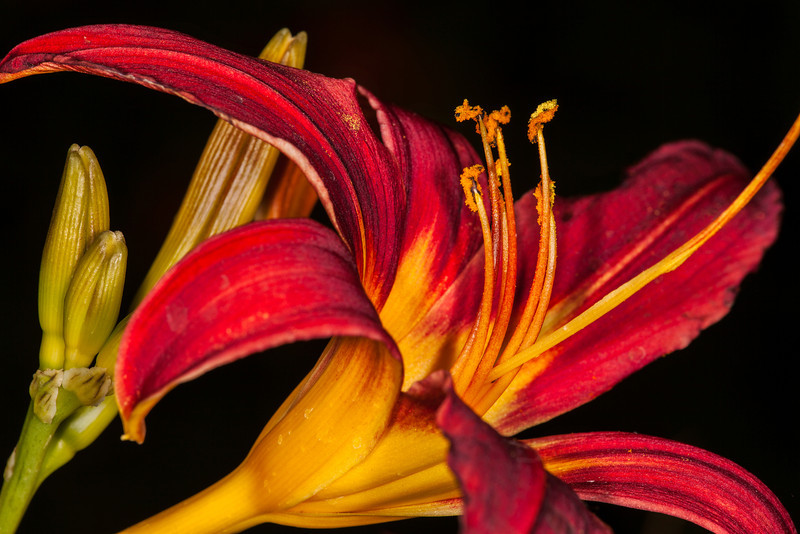 """Red Lilly"""