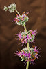 """""""Purple Sage Blossom"""""""