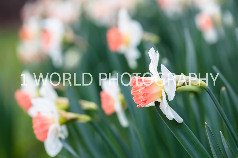 Cantigny Daffodils April '17-103-2.jpg