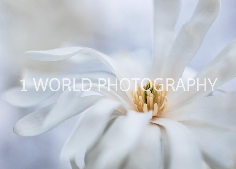 Cantigny Daffodils April '17-238-7.jpg