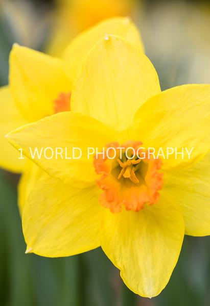 Cantigny Daffodils April '17-26-13.jpg