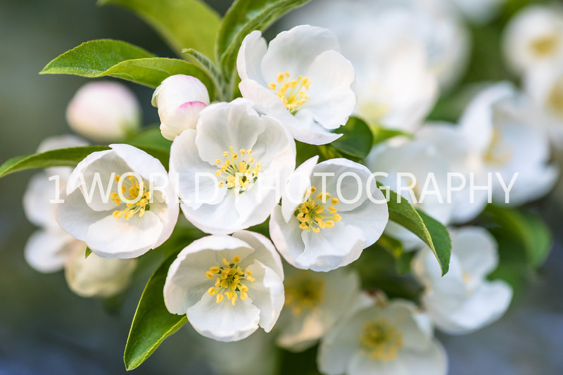 201905132019_Backyard Apple Blossoms026--140.jpg