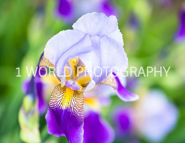 201906062019_6 Neighborhood Irises203--168.jpg