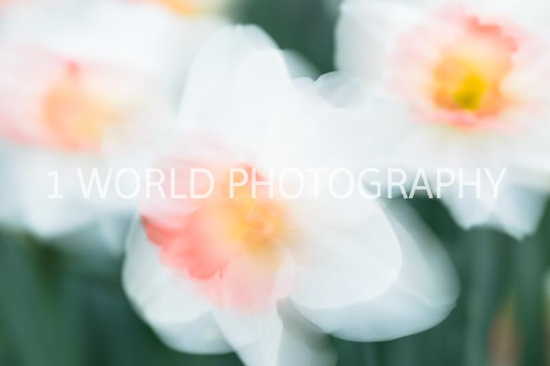 Cantigny Daffodils April '17-210-24.jpg