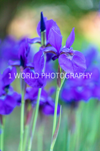 201906062019_6 Neighborhood Irises374--176.jpg