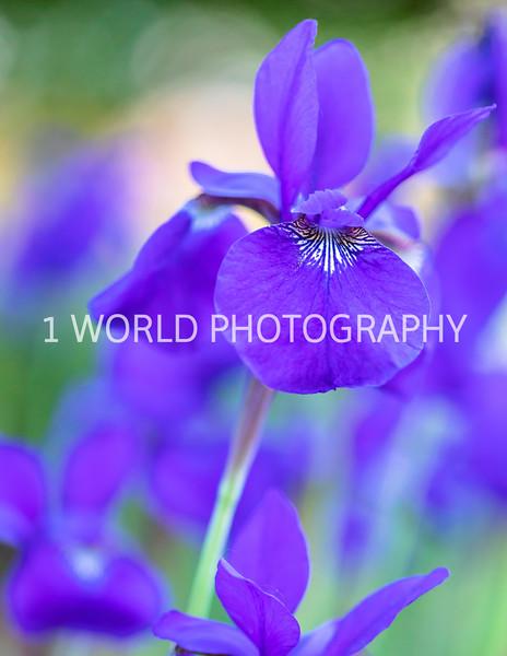 201906062019_6 Neighborhood Irises371--175.jpg