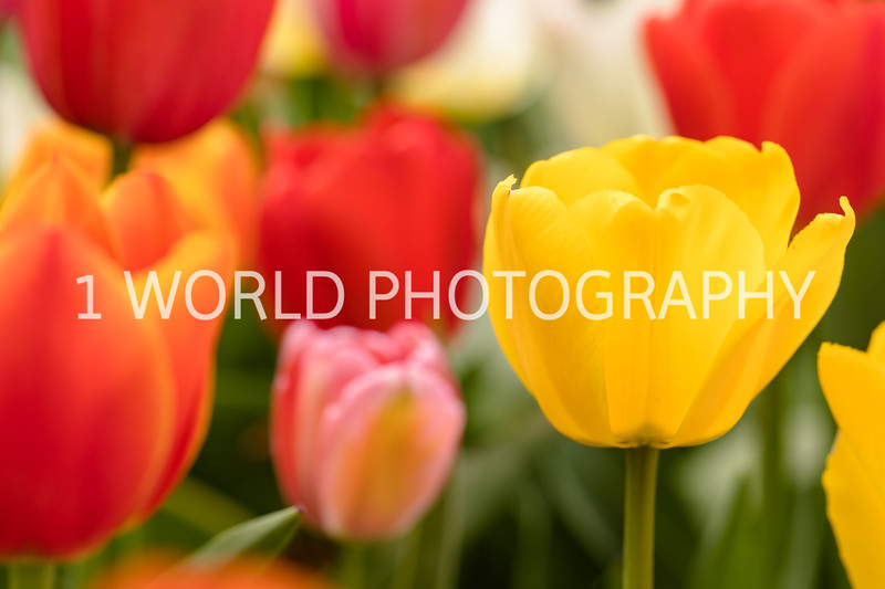 Holland, MI, Tulips -21-63.jpg