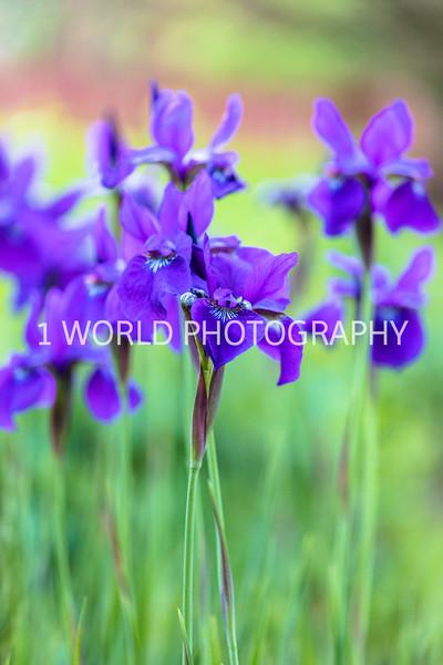 201906062019_6 Neighborhood Irises365--173.jpg