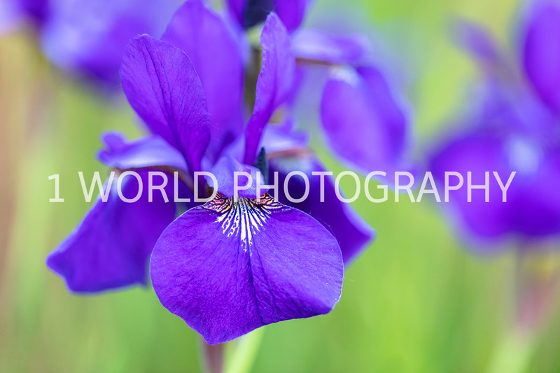201906062019_6 Neighborhood Irises316--171.jpg