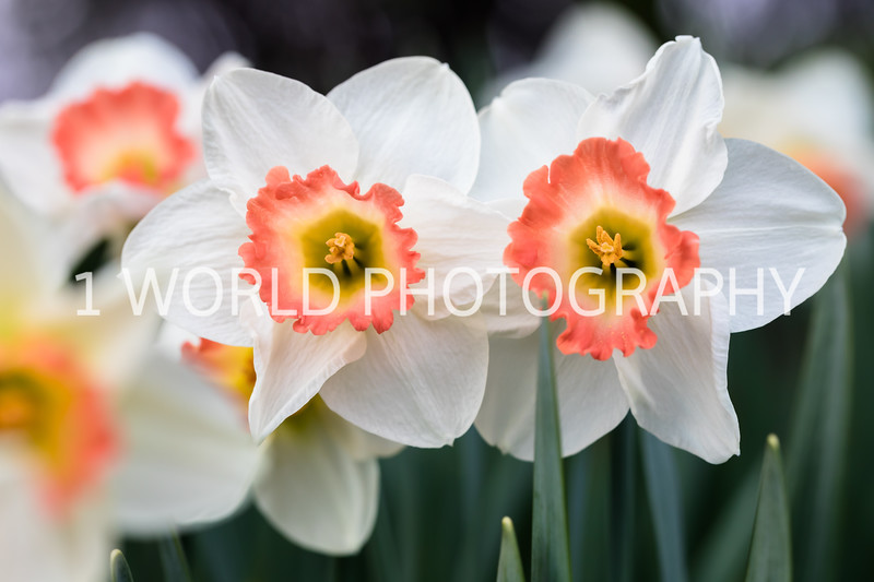 Cantigny Daffodils April '17-111-19.jpg