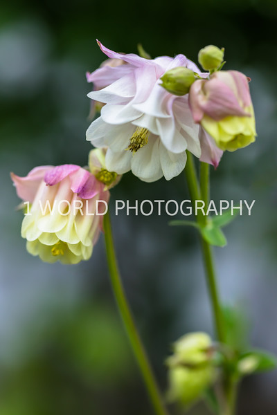 201905192019_Columbine backard flowers019--157.jpg
