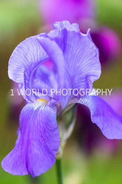 201905312019 Neighborhood Irises028--159.jpg