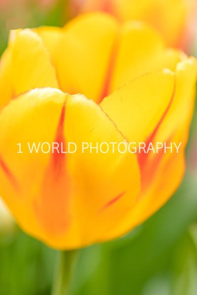 Holland, MI, Tulips -25-64.jpg