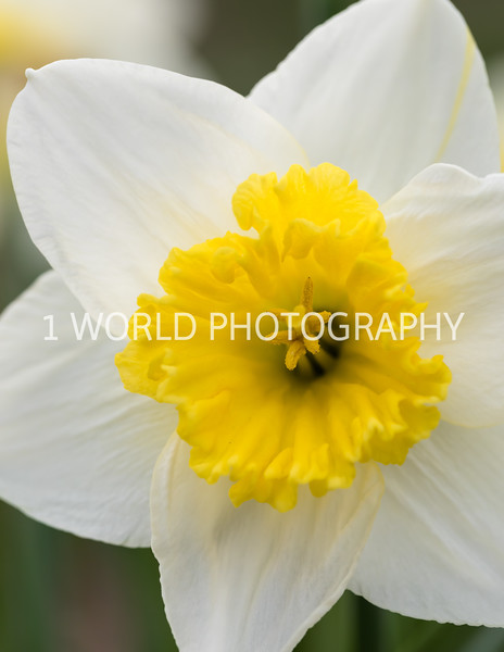 Cantigny Daffodils April '17-34-1.jpg