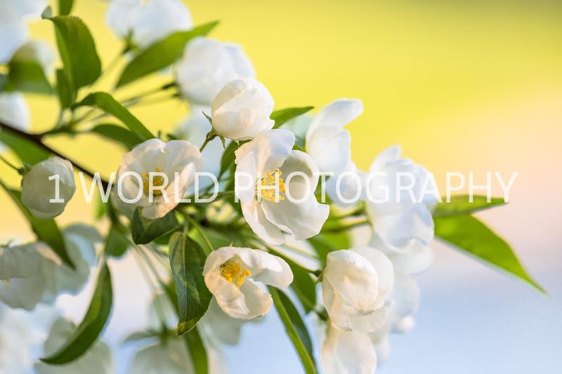 201905132019_Backyard Apple Blossoms045--142.jpg