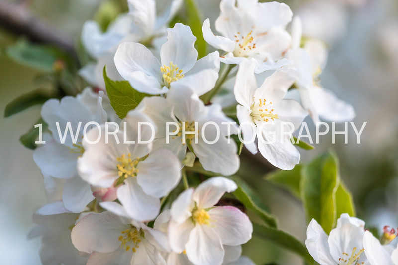 201905132019_Backyard Apple Blossoms110--146.jpg