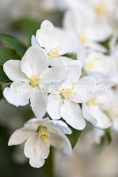 201905132019_Backyard Apple Blossoms101--145.jpg