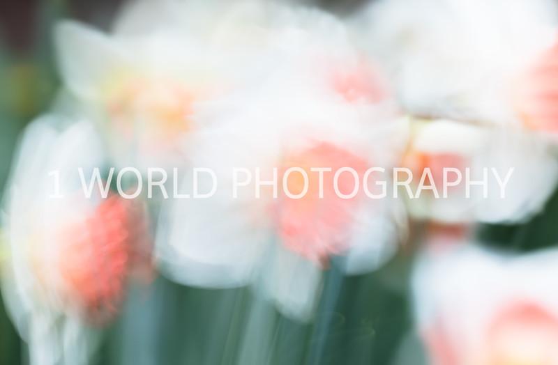 Cantigny Daffodils April '17-204-6.jpg