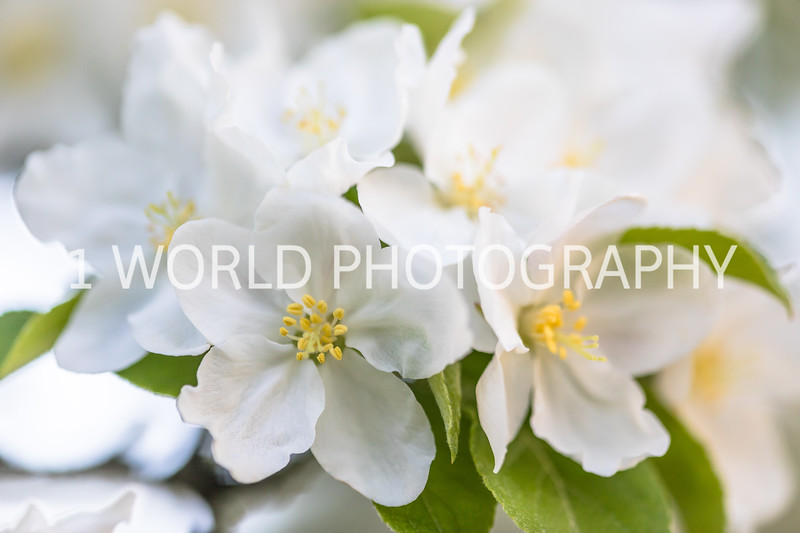 201905132019_Backyard Apple Blossoms069--144.jpg