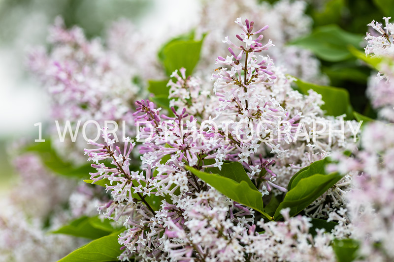 201906012019_Spring Irises and Lilacs055--163.jpg