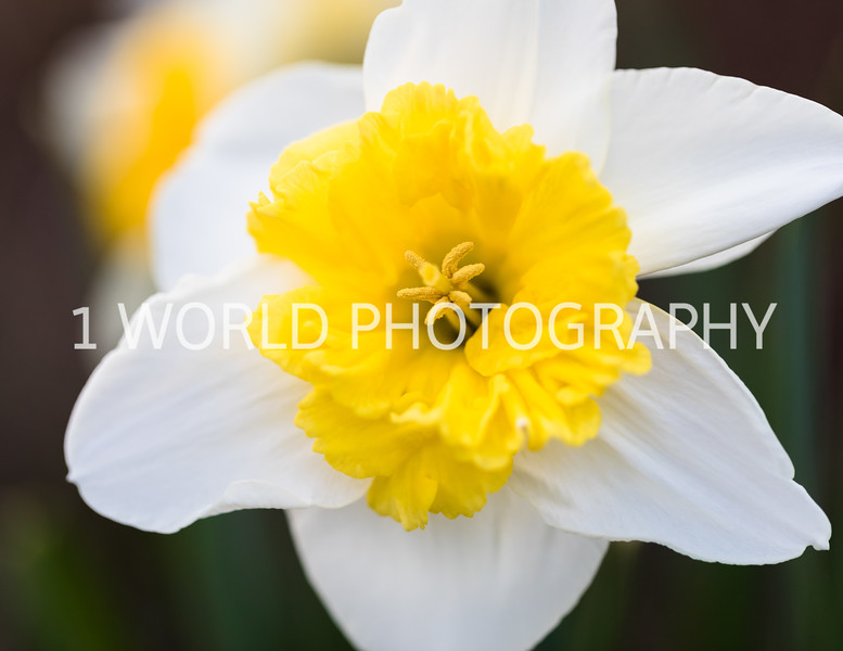 Cantigny Daffodils April '17-193-4.jpg