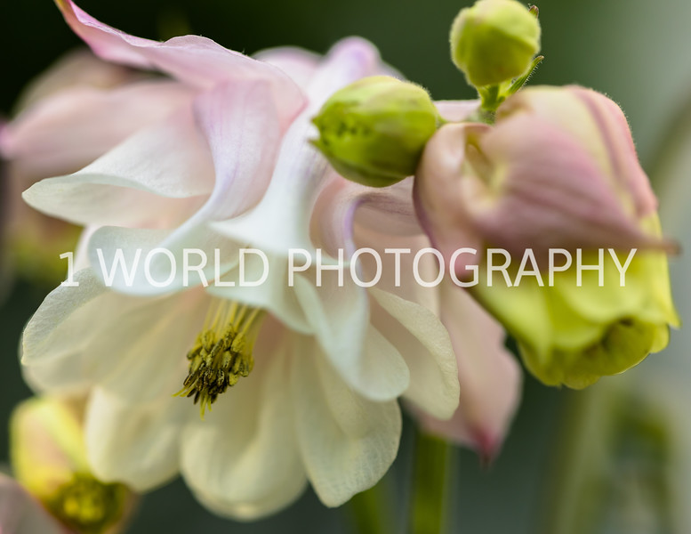 201905192019_Columbine backard flowers022--158.jpg