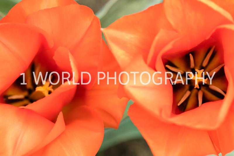 Holland, MI, Tulips -38-67.jpg