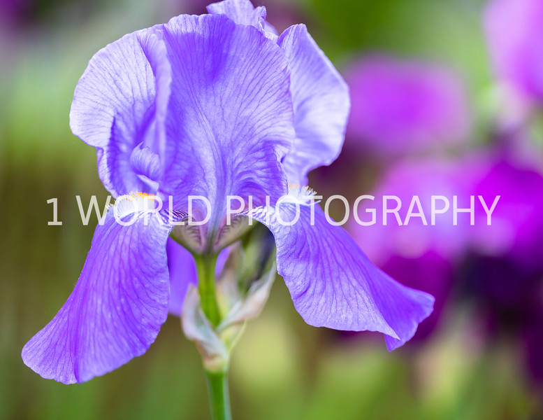 201905312019 Neighborhood Irises042--161.jpg