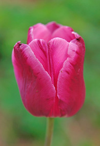 Pink-lippedTulip