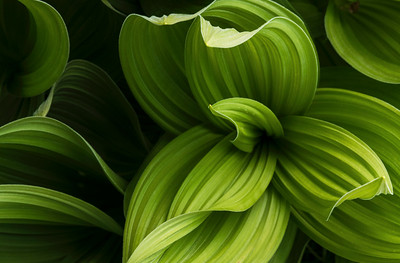 False Hellebore, aka Corn Lily
