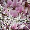 Plum Blossoms, Magnolias