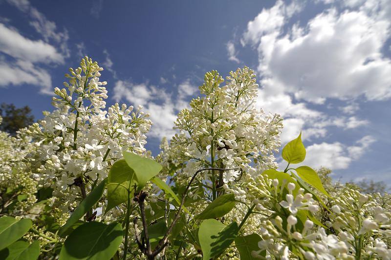 __Highland Park blossoms 050309 3 DSC5652