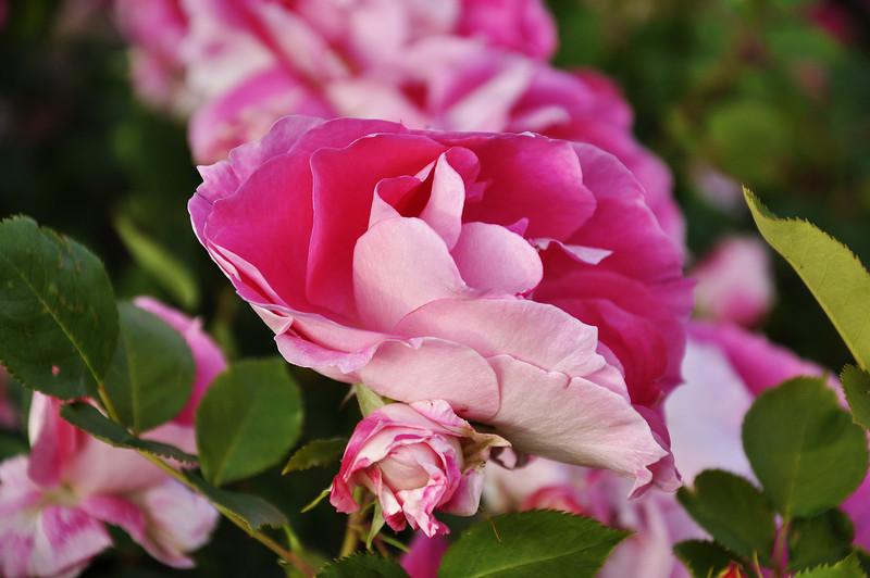 Maplewood rose garden 2_DSC8387
