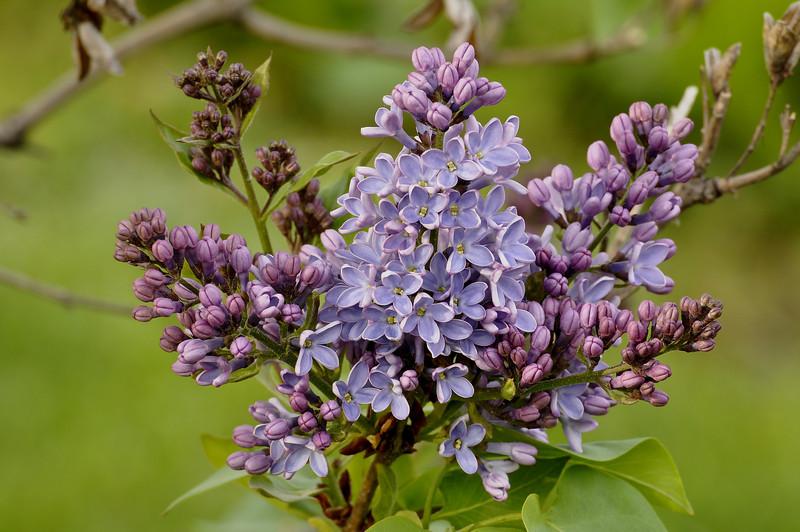 __Highland Park blossoms 050309 91 DSC5887
