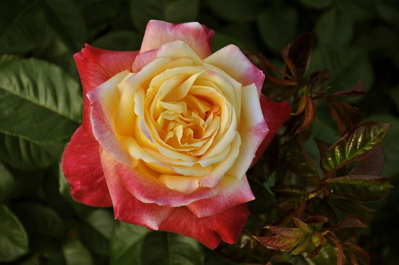 Maplewood rose garden 33_DSC8466