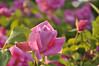 Maplewood rose garden 24_DSC8437