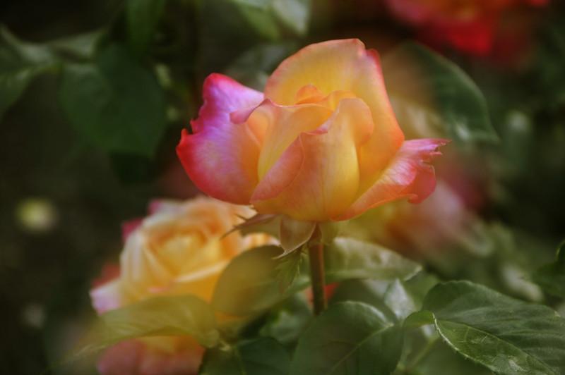 Maplewood rose garden 31-dreamy_DSC8464