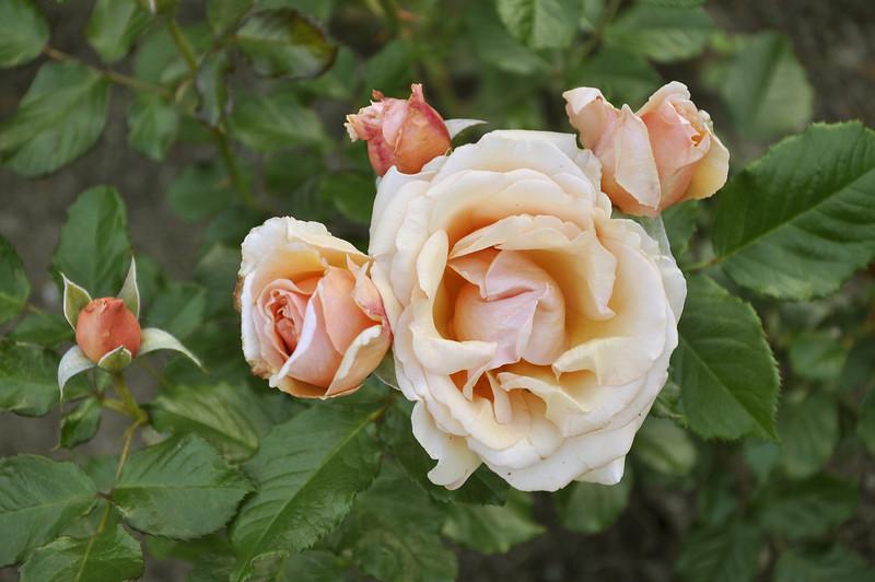 Maplewood rose garden 17_DSC8416