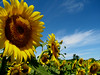 Sunflowers rule, Pittsford NY.