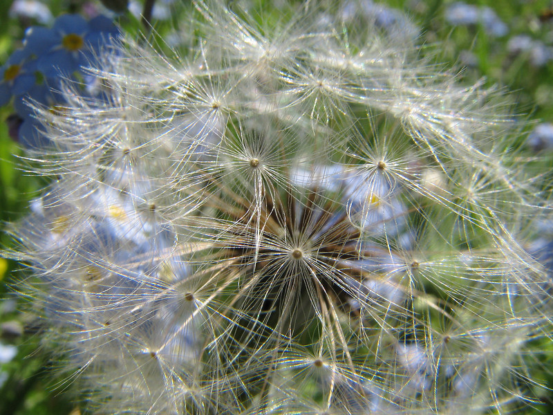 Looking through a dandelion, Rochester NY.