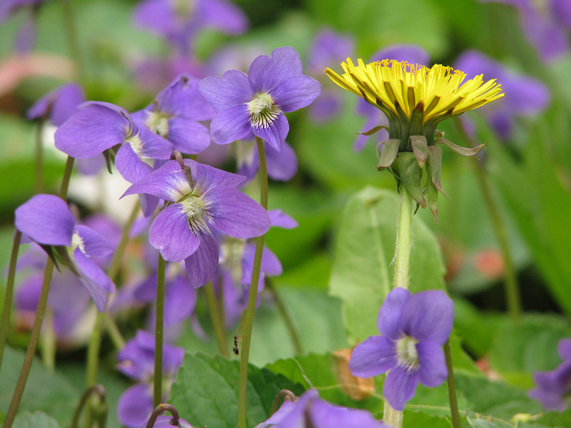 Violets and dandelion, Rochester NY.