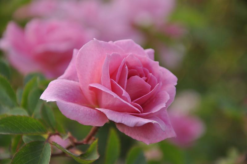 Maplewood rose garden 7_DSC8396