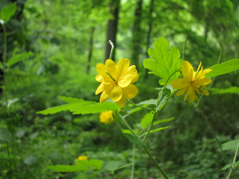 Wildflowers in spring. Grimes Glen, Naples NY.