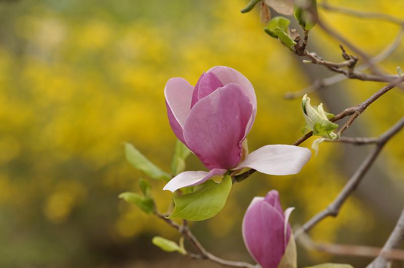 __Highland Park blossoms 050309 65 DSC5806