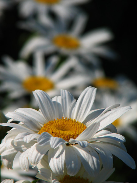 Daisies, Maplewood Park, Rochester NY.