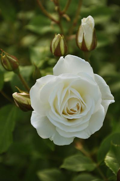 Maplewood rose garden 11_DSC8403