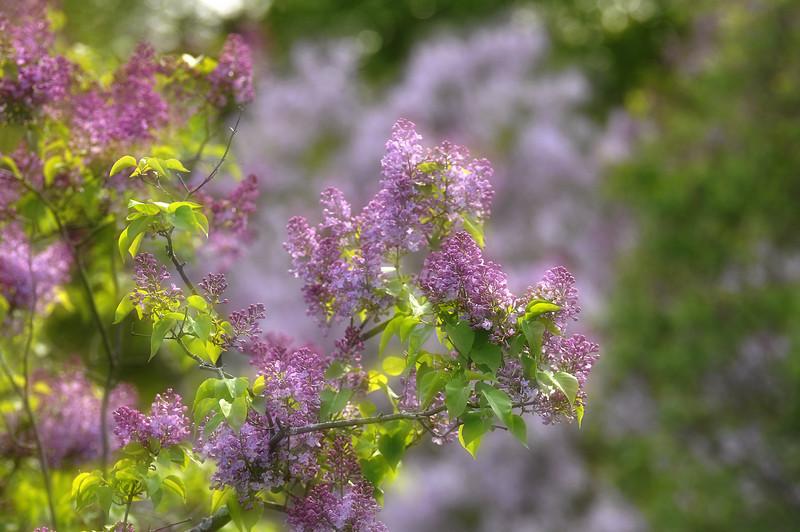 __Highland Park blossoms 050309 26 DSC5722