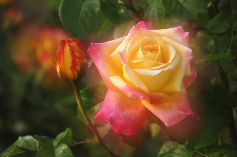 Maplewood rose garden 37-dreamy_DSC8474