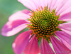 Echinacea, purple coneflower, closeup